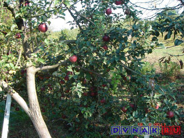 Краснодар. Яблоки